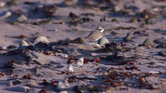 B-roll for media use: Western snowy plover male with chicks (USFWS Pacific Southwest Region) Tags: westernsnowyplover us fish wildlife service share shore shorebird usfws california losangelescounty