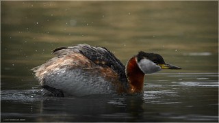 Red-necked Grebe - Explored April 28, 2016