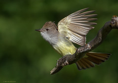Winging It (E_Rick1502) Tags: