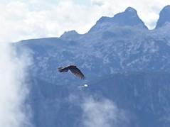 Alpendohle, Pyrrhocorax graculus (Michael Keyl) Tags: mountains berge alpen alps bayern bavaria inzell bayerischealpen outdoor hiking wandern