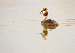 Great Crested Grebe (alone68) Tags: nature canon wildlife stodmarsh greatcrestedgrebe nnr