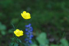 Buttercup (Lovernios X) Tags: plants nature buttercup wildflowers