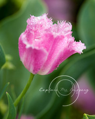 RKL_6693-3FLKR (Capture Me Imagery) Tags: pink flowers white green nature floral gardens garden landscape outdoors gardeners peace purple tulips peaceful arboretum gardener springtime kingwoodcenter peackock mansfieldohio