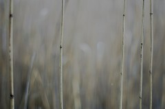 reed (tobiaszj) Tags: reed water pool 50mm open pentax bokeh wide straw 12 smc creamy k5 f12
