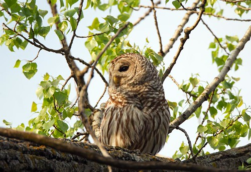 Barred Owl_Q4G9483