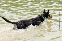 Limit Swims 2013-05-21-15 (falon_167) Tags: dog australian limit kelpie australiankelpie