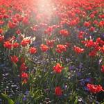 Les tulipes du quartier nord thumbnail