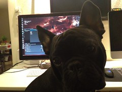 Storm playing EvE Online (parisnakitakejser) Tags: eve dog playing storm game cute copenhagen denmark play bulldog franch eveonline uploaded:by=flickrmobile flickriosapp:filter=nofilter