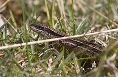 Viviparous Lizard (Zootoca vivipara) (macronyx) Tags: nature animal animals reptile wildlife lizard reptiles ödla viviparouslizard reptiler zootocavivipara zootoca skogsödla