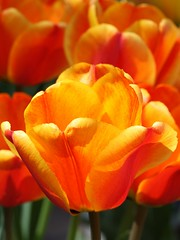 Tulips (donsutherland1) Tags: flowers orange ny newyork spring tulips blossoms bloom april soe autofocus mamaroneck flickraward flowersarebeautiful mimamorflowers awesomeblossoms flickrflorescloseupmacros fleursetpaysages allnaturesparadise