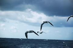 birds (peace6x) Tags: ocean sea bird island fly seagull gull   hachijojima