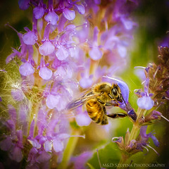 I'm beesy (M&D SZUPINA PHOTOGRAPHY) Tags: closeup work insect bee busy nikond5100