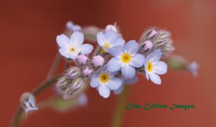 Forget-me-not. (modernia) Tags: blue orange white flower floral beauty yellow pretty dof blossom rusty forgetmenot bud elementsorganizer