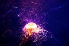 jelly (shuweet.) Tags: fish water animal aquarium jellyfish underwater jelly georgiaaquarium aquaticlife oceanlife