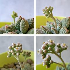 Crassula ausensis ssp. titanopsis (Alba_k) Tags: plant flower planta succulent flor crassulaceae namibia crassula suculenta titanopsis saxifragales crasa ausensis crasulceas crassulaausensisssptitanopsis