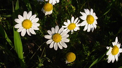 Daisies (7th_cloud) Tags: flowers white flores green primavera portugal yellow daisies canon spring daisy margarida aveiro g11 coth supershot