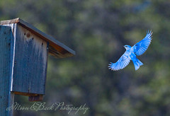 Daddy's Home (Aspenbreeze) Tags: bird birds animal rural colorado wildlife country bluebird avian mountainbluebird wildbird coloradowildlife aspenbreeze moonandbackphotography bevzuerlein