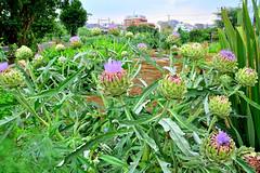 / Artichoke, Globe Artichoke (Dakiny) Tags: plant flower field june japan thistle yokohama  artichoke  rainyseason  globeartichoke   2013     aobaku  2013  shimoyamotocho  yanimotoseseragifureaipromenade