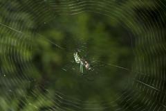 Spider eating series 13 (Richard Ricciardi) Tags: spider eating web spinne araa  araigne ragno timeseries     gagamba    nhn  spidertimeseries