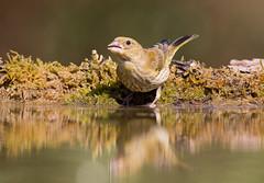 Greenfinch - bathing
