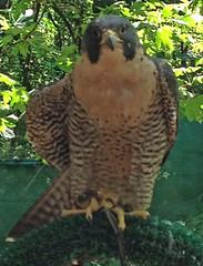 Freyja2 (merhawk) Tags: hawk raptor falcon freya peregrine hawktalk cascaderaptorcenter raptoreducation