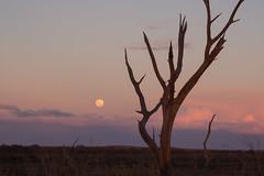 boolcoomatta july 2013 - 024 7220177 (liam.jon_d) Tags: sunset moon creek landscape loop australian australia fullmoon moonrise outback sa southaustralia bha southaustralian billdoyle salandscape bushheritageaustralia abhf boolcoomatta bushheritage australianbushheritage australianbushheritagefund boolcoomattareserve oonartra oonartracreek oonartracreekloop redgumcreek redgumcreekloop