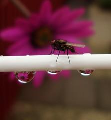 Taken on the fly! (cocopie) Tags: fly waterdrop osteospermum