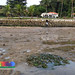 Tape seagrasses (Enhalus acoroides) on natural shore behind Underwater World Singapore