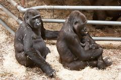 2013-07-25-11h01m43.272P0273 (A.J. Haverkamp) Tags: zoo twins gorilla arnhem thenetherlands burgerszoo dierentuin westernlowlandgorilla westelijkelaaglandgorilla canonef70200mmf28lisusmlens httpwwwburgerszoonl ngayla dob09051993 pobarnhemthenetherlands nkato nhasa dob13062013