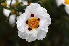 Jara (Fermaker) Tags: flowers naturaleza flores macro primavera nature ro canon los spring spain europa europe toledo jara pusa castillalamancha canon100mmmacrof28 navalucillos 100mmmacrof28 rob