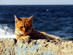 Alexandrian Cat 2 (mmoneib) Tags: sea sunlight nature water alexandria animal cat mediterranean day egypt wave domestic splash waterscape
