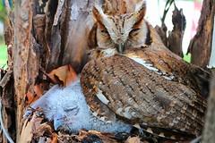 IMG_M0539 (Max Hendel) Tags: canon nocturnal owl coruja corujinhadomato corujadocampo bymaxhendel maxhendelphotography owlfield habitosnoturnos