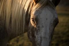 sun eye (Jen MacNeill) Tags: morning light horse eye closeup appaloosa eyes mane jennifermacneilltraylor jmacneilltraylor jennifermacneill jennifermacneillphotography