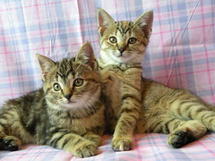 Sisters (Sapphire Dream Photography) Tags: sleeping rescue pet cats pets cute eye animal animals cat eyes kitten tabby homeless adorable kitty kittens m domestic kitties snooze stray felines playful domesticcat strays tabbycat babyanimals feliscatus domesticcats rescues toyger mmarkings