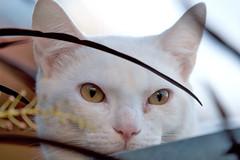 4122 (fpizarro) Tags: roof minasgerais cat mg gato spy belohorizonte whitecat telhado bh ontheroof espio gatobranco fpizarro notelhado brancowhite
