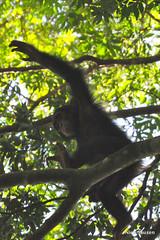 DSC_5244 (corredor2009) Tags: forest chimpanzee uganda chimps primates murchisonfalls babychimp budongo mfnp
