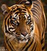 Sumatran Tiger - Dami (m_hamad) Tags: park nature beauty animal canon zoo dc washington dami farm wildlife explore jungle nationalzoo sumatrantiger panther sumatran nationalgeographic supershot 60d canon60d ultimateshot dazzlingshots blinkagain