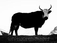 Dzopkyo (whitworth images) Tags: nepal yak white snow mountains cold animal silhouette trekking outdoors frozen nationalpark high asia altitude pass ridge domestic beast himalaya livestock dzo khumbu everest bovine highaltitude domesticated chola sagarmatha solukhumbu cholapass dzongla sagarmathanationalpark dzopkyo dzonglha