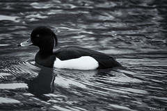 tufted duck (rich lewis) Tags: blackandwhite nature monochrome birds mono wildlife tuftedduck vision:outdoor=0913 vision:car=0591 vision:ocean=0598