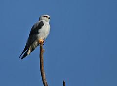 Black-shouldered Kite (Rainbirder) Tags: kenya ngc elanuscaeruleus blackshoulderedkite lakenakuru rainbirder