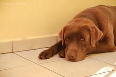 Thor (Fernanda Cerioni ) Tags: dog co animal animals labrador perro cachorro retrieverlabrador