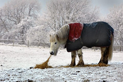 cold-horse (JACK BYERS.) Tags: trees winter horse snow ice scotland frost farm pony blanket hay ecosse lochaber scottishhighlands jackbyers