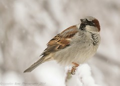House Sparrow in the Snow (krisinct- Thanks for 12 Million views!) Tags: snow birds nikond7100sigma120300exdgapoos