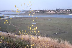 Upper Newport Bay, May 1975 (Orange County Archives) Tags: california history newportbeach historical mustard southerncalifornia orangecounty 1970s yesterland uppernewportbay orangecountyarchives orangecountyhistory wernerweiss