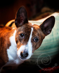 "2.12a Raisin ""My Bossy Valentine!"" (jezandia) Tags: dog basenji raisin ldlportraits 12monthsfordogs"