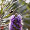 Bumblebee (*PhotoByJohn*) Tags: california macro nature garden insect other places bee bumblebee 5d southcoastbotanicgarden ranchopalosverdes insectmacro beemacro photobyjohn canon5dmkii 5dmkii