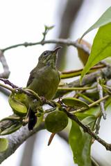 _MG_2370.jpg (xentinel2) Tags: female birds olivebackedsunbird sungeibuloh unsure singapore sg