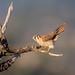 American Kestrel (f) (hyu767) Tags: 03192017 kestrel americankestrel raptor