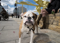 Washington DC (Blinkofanaye) Tags: washingtondc noma dog street candid sun blue sky bulldog gentrification