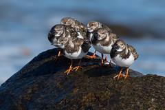 Ruddy Turnstones (Jesse_in_CT) Tags: ruddyturnstone nikon200500mm